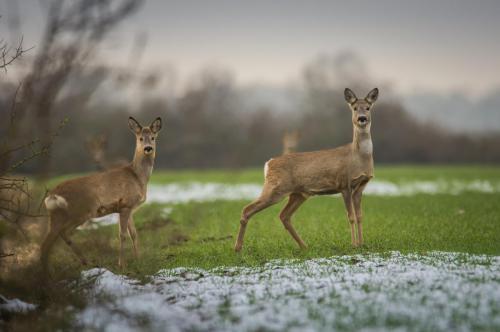 roe-deer-3153578 1920