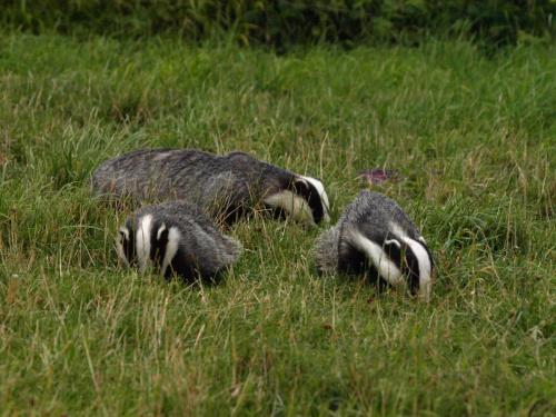 badgers-3790321_1920