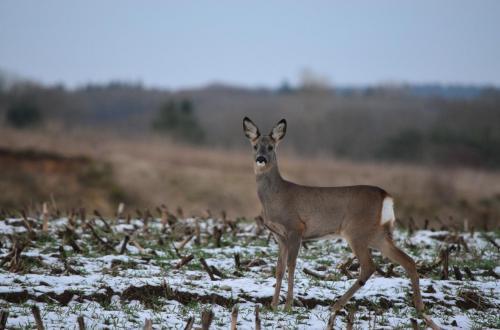 roe-deer-623675 1920